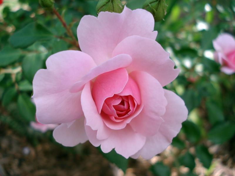 Rose-185961_960_720